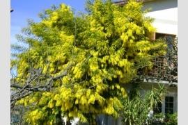 Foto La Mimosa